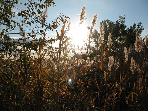 Sea oats in the sun