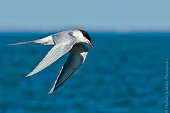 Arctic Tern (Micha67) Tags: sky bird nature water michael inflight nikon michigan flight micha lakestclair schaefer d300 arctictern ptf