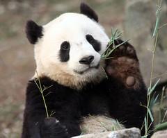 A tai wave (somesai) Tags: animal animals smithsonian panda endangered giantpanda pandas giantpandas
