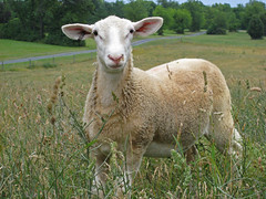Weaned lamb