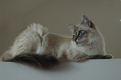 Gorgeous Willa Perched (lynne bernay-roman) Tags: beautiful cat soft sweet kitty abigfave kissablekat bestofcats