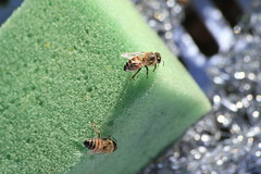 Bees on a sponge