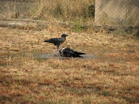 Pied Crows bathing