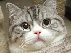 DSCF5820 (jjyuen2004) Tags: cats cat britishshorthair   netnetcat netnetcats
