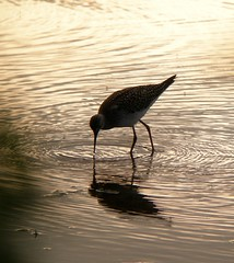 G. Yellowlegs 2 8-12-07