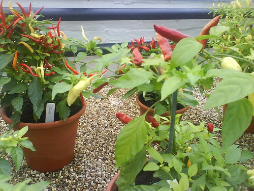 Pots of Chilli