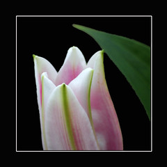 Tulip (regina_austria) Tags: flower nature vivid tulip 1001nights blume breathtaking shiningstar tulpe elegance lifeshot naturegroup naturesfinest naturesart beautifulearth macrophotos straightfromcamera blueribbonwinner beautysecret supershot 50faves outstandingshots flickrsbest flowermacroism flickrspecial masterphotos flickrsmileys mywinners abigfave plus4excellence impressedbeauty superbmasterpiece photosandcalendar tornadoaward globalvillage2 anawesomecloseup elegantgroup ultimategold photostosmileabout flowerwatcher flickrsun reginaaustria macromix justlovelyphotos flickrblooms dazzlingshots theperfectphotographer naturesbest