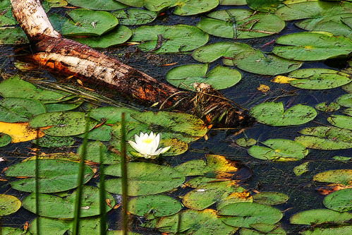Lilypads and Driftwood