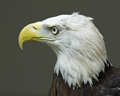 "Bald Eagle -- ""Rock City Raptors"" (Momba (Trish)) Tags: bird chattanooga nature birds wow interestingness nikon searchthebest eagle tennessee baldeagle bald explore raptor nikkor lookoutmountain rockcity momba naturesfinest nikond200 supershot interestingness219 i500 specanimal specanimaliconoftheweek avianexcellence naturewatcher rockcityraptors raptorsrock explore19august2007"