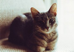 D-kitty Portrait (Mr.TinDC) Tags: cats pets slr animals scanned kitties tabbies daphne felines 1992 minoltax370 greycats greytabbies dkitty