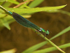 "Male Banded Demoiselle Damselfly (Calopteryx Splendens) • <a style=""font-size:0.8em;"" href=""http://www.flickr.com/photos/57024565@N00/1339902641/"" target=""_blank"">View on Flickr</a>"