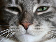 wet nose (jahat) Tags: pet oregon cat canon portland eos feline 30d citizenkat megashot