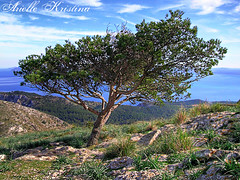Luckiest Tree in the World | Mount Victoria, Mallorca (*Arielle*) Tags: sea sky espaa mountain tree nature landscape arbol mar spain mediterranean victoria mount cielo mallorca majorca arielle ariellekristina