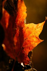 ~~~TIME FOR A CHANGE~~~ (hotes trinkets/DaydreamingKat) Tags: autumn orange macro fall leaves leaf flickr autumnleaves mapleleaf inthewoods straightfrommycamera nocolorsadded sonyalphadslra700 absolutelynatural hotestrinkets