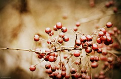 (andrewlee1967) Tags: berry bokeh dof autumn canon50d sigma18200mm andrewlee1967 closeup mywinners andrewlee