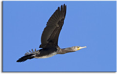 Great Cormorant (aaardvaark) Tags: australia vic bif greatcormorant croajingalong phalocrocoraxcarbo 201010010342grco