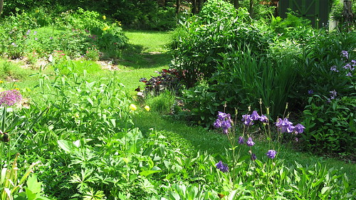 Columbine and allium in the upper garden