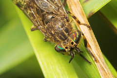 """Cleg Fly Eyes (Haematopota pluvialis) • <a style=""""font-size:0.8em;"""" href=""""http://www.flickr.com/photos/57024565@N00/542668547/"""" target=""""_blank"""">View on Flickr</a>"""