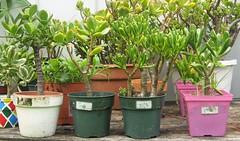 Jade Plant Experiment