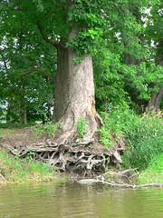 more tree roots (jodola) Tags: river ottawa canoe foxriver