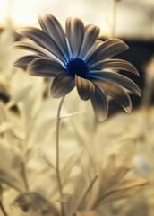 Blume (DaOpfer) Tags: flower macro germany ir deutschland 2000 pentax blossom infrared bloom 500views 500 blume makro blüte 1500 1000 2007 hoya 1000views r72 infrarot hoyar72 333views 2000views 1500views osteospermumecklonis k100d abigfave woodeffect kapmagerite