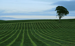 Tree in stripey field (II) (gdelargy) Tags: tree green field stripe line lonetree westkilbride canonef70200mmf4lusm