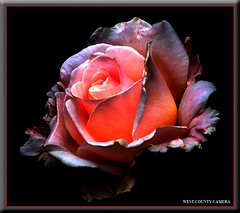 Fire Rose* (West County Camera) Tags: niceshot bestofthebest oa wow1 wow2 wow3 wow4 opl thegalaxy wow5 imagepoetry flowersarebeautiful excellentsflowers natureselegantshots mimamorflowers awesomeblossoms exphoto thedantecircle thebestofmimamorsgroups redmatrix oracoop flickrsportal platinumamazingdetails musictomyeyeslevel1 flickrsfinestimages1 vigilantphotographersunite vpu2 vpu3 vpu4 vpu5 vpu6 vpu7 vpu8 vpu9 vpu10