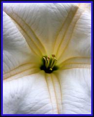 Datura (onetruesound) Tags: flower macro green nature beautiful yellow closeup golden close center excellence top20flowers