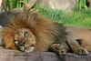 Laying Lion (Cal Bear 94) Tags: sanfrancisco california animal zoo leo lion leone specanimal superhearts betterthangood