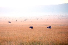 Ostrich and trees (halifaxlight (back in March)) Tags: africa sunset walking kenya pair hills ostrich safari grassland masaimara
