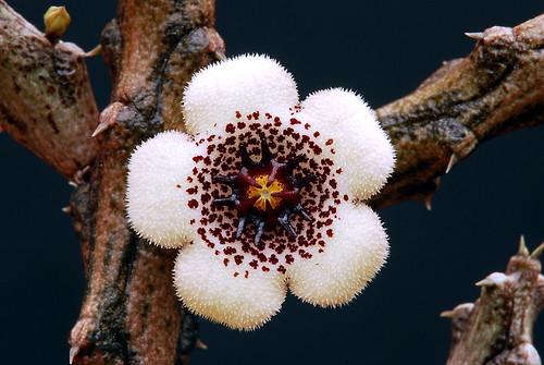 フリー画像| 植物| スタペリアンサス|         フリー素材|
