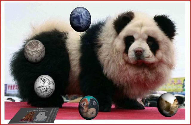 perro panda teñido