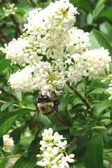 Led To The Fragrance (Catcher In My Eye) Tags: bumblebee lilacs whitelilacs persianlilacs
