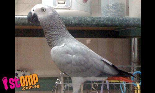 $1,000 reward if you can find our beloved parrot Hong Hong