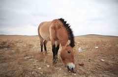 Introducing the Przewalski's horse (S(u)e A(n)ne) Tags: china xinjiang  wildhorse endangeredspecies przewalskishorse  mongoia equiine