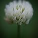 White Clover Bloom