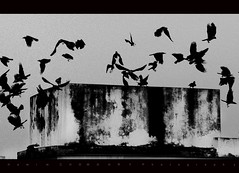 2 5 3 3 2 2 1 0 2 0 1 0 (*HamimCHOWDHURY* [Only Posting photos ]) Tags: blackandwhite canon eos natural dhaka crows blackbirds everyones 60d framebangladeshbirds 18200bangladesh