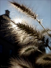 Unknown (ByJeroen) Tags: autumn light shadow sun plant macro germany unknown planter osnabrck plume byjeroen fromlight tripleniceshot mygearandmepremium mygearandmebronze mygearandmesilver mygearandmegold mygearandmeplatinum mygearandmediamond