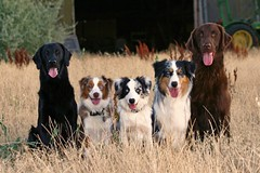 The cast of my non-stop entertainment (Xanboozled) Tags: dog jasper firetruck flatcoat bordercollie aussie mayday australianshepherd layla coolest deuce flatcoatedretriever partyoffive castofcharacters supershot thegangsallhere abigfave anawesomeshot impressedbeauty yestheyreallmineandnoimnotcrazyokaymaybejustabit notcrazylucky
