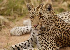 Young Leopard (Lyndon Firman) Tags: africa southafrica safari leopard bigcat malamala blueribbonwinner parkstock supershot 10faves specanimal anawesomeshot impressedbeauty