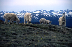 Mountain Goat Family (justb) Tags: family mountain mountains film landscape scenery bc natural wildlife scenic goat velvia goats environment fujifilm wilderness mountaingoat mountaingoats mountainscape supershot