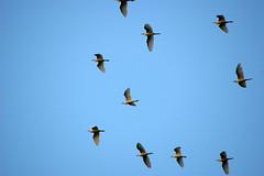 Egrets in Flight! (Flutterbye_856) Tags: fab nature ilovenature wings bluesky ilovesky shiningstar egrets blueribbonwinner supershot instantfave wingsinmotion mnfg citrit bayfontparkdaphnealabama