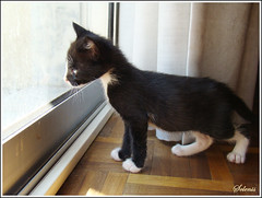 Takumi (selenis) Tags: pet portugal animal cat kitten feline lisboa kitty tuxedo gato felino adoption gatinho adopo cc100