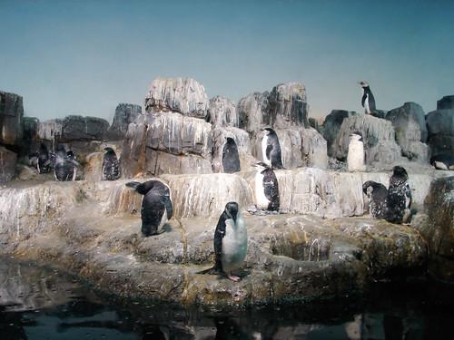 central park zoo penguins. central park zoo penguins.