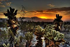 Cholla Garden Sunrise (Nick  Carlson) Tags: pictures cactus cacti sunrise photography photo bravo desert photos pics carlson nick picture joshuatree pic hdr highdynamicrange hdri cholla joshuatreenationalpark chollagarden tonemapped silvercholla jumpingcholla superaplus aplusphoto nickcarlson truelifeimages nickcarlsonphotography