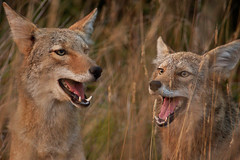 coyotes (matt knoth) Tags: people by italian dusk pack national geographic marinheadlands iso1600 coyotes wilddogs ngi specanimal animalkingdomelite specanimalphotooftheday bfgreatesthits qemdfinchadminsfavforsept coyotelair neverateasinglecanadiansingersongwriter