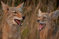 Coyotes (cc par matt knoth)