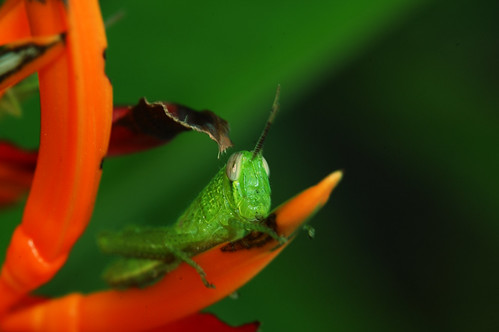 Grasshopper photo with adjustments done in Nikon Capture NX