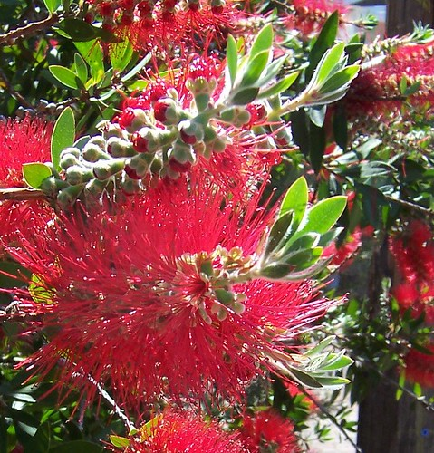 Bottlebrush blooming