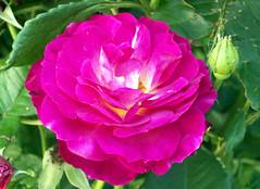 Roses_61810b